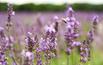 Lawneda: rośliny miododajne w ogrodzie